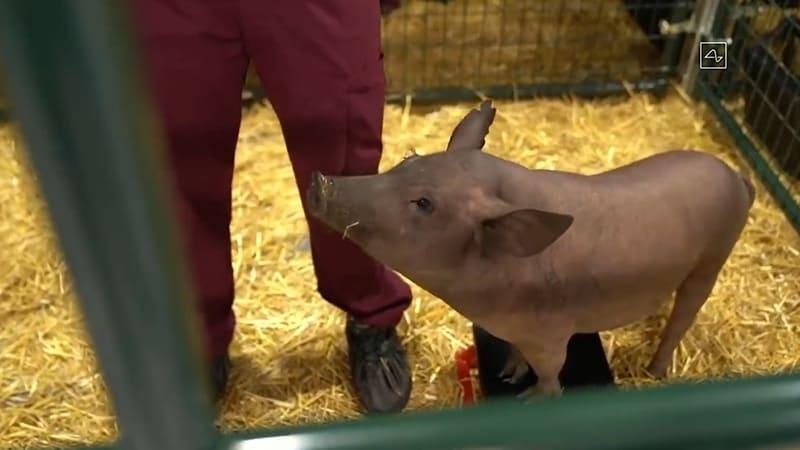 neuralink cochon